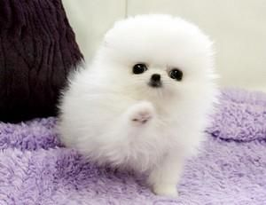 Healthy Teacup White Pomeranian Puppies