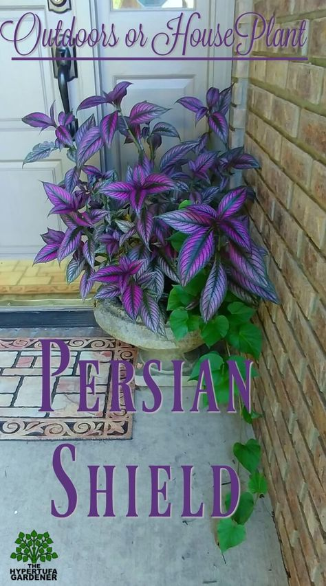 Persian Shield That Pretty Purple Plant - House Plants - ideas of House Plants - Persian Shield Outdoors for stunning color or indoors for color all winter Garden Yard Ideas, Garden Projects, Garden Boxes, Container Plants, Container Gardening, Container Flowers, Outdoor Plants, Outdoor Gardens, Plants Indoor