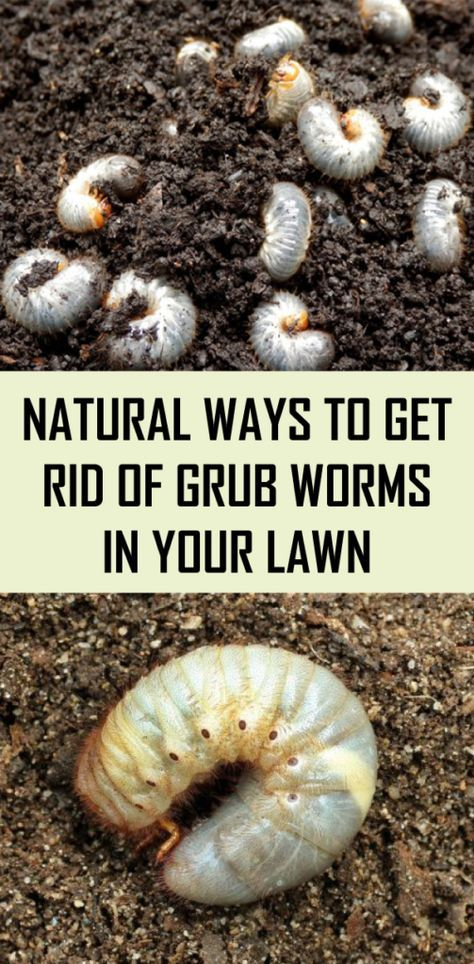 Natural Ways To Get Rid Of Grub Worms In Your Lawn Garden Pests