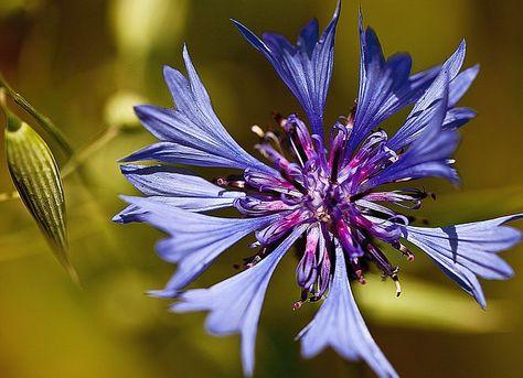 Cornflower Flower With Images Blue Corn Image Photo