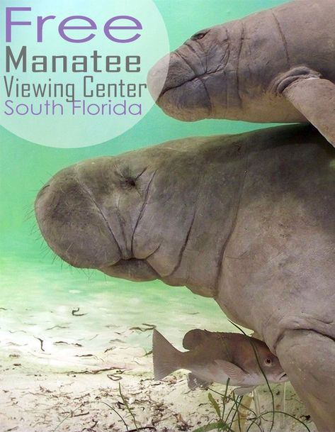 Fun & Free: Manatee Viewing Center in South Florida - Traveling Mom Visit Florida, Florida Living, Tampa Florida, Florida Vacation, Florida Travel, Florida Keys, Florida Beaches, Vacation Spots, Clearwater Florida