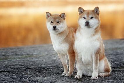 Der Shiba Inu In Der Familie Als Familienhund Mit Kindern Was Mussen Halter Beachten Zusammenleben Und Fuhrung Eines Shiba In Der Famil Shiba Inu Hunde Shiba