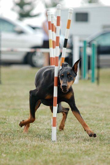 Say Yes Dog Training Dobermanpinscher Doberman Dogs Doberman
