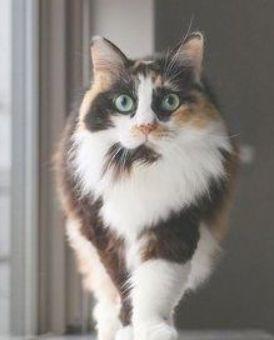 Wow This Cat Has Amazing Fur Catfur Cat Beautifulcat Cute Cat Gif Pretty Cats Cute Animals