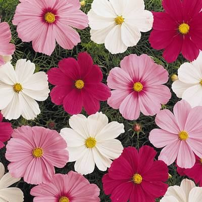 Sonata offers excellent branching, a uniform habit and large, attractive blooms. Not only do these varieties perform well in the garden, but because of their dwarf nature, they are excellent items for patio plants and color bowls. Our premium grade seed ensures the best germination available.Color: Mix of shades of carmine, pink, pink blush, purple, red, and white. SHIPPING Seed Untreated 1,000 Seeds: We have under 5 packages of this size but we have more in the warehouse. If you order today we