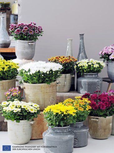 Chrysantheme Ist Die Zimmerpflanze Des Monats Oktober House Plants Interior Plants Flower Pots