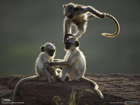 Afbeeldingsresultaat voor spelende apen