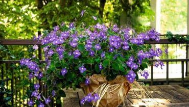 Takie Dorodne Skretniki Blue Fountain Pojawiaja Sie W Kwiaciarniach Na Poczatku Lata Na Cienistym Balkonie Kwitna I Kwitna Wy Plants Flowers Flower Power
