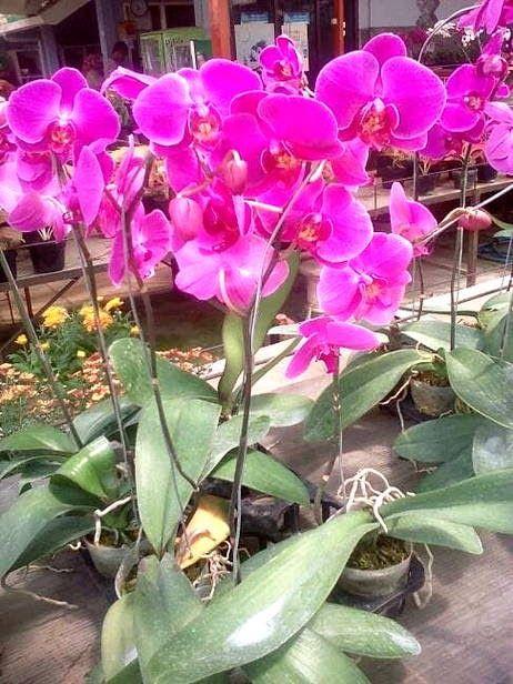 Gambar Sketsa Bunga Anggrek Bulan Gambar Bunga Anggrek Bulan Harian Nusantara Download Anggrek Bulan Yurichan S Blog Download 50 Di 2020 Bunga Anggrek Tanaman