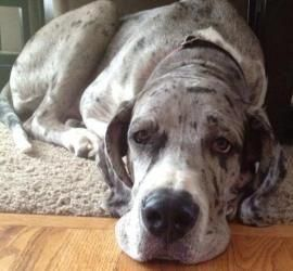 Lily Rose Is An Adoptable Great Dane Dog In Aurora Co Lily Rose