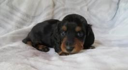 Dachshund Mini Puppies For Sale Lancaster Puppies In 2020 Puppies For Sale Mini Puppies Puppies