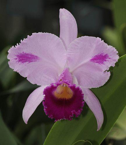 Cattleya Trianae Cattleya Orchid Cattleya Orchid Flower