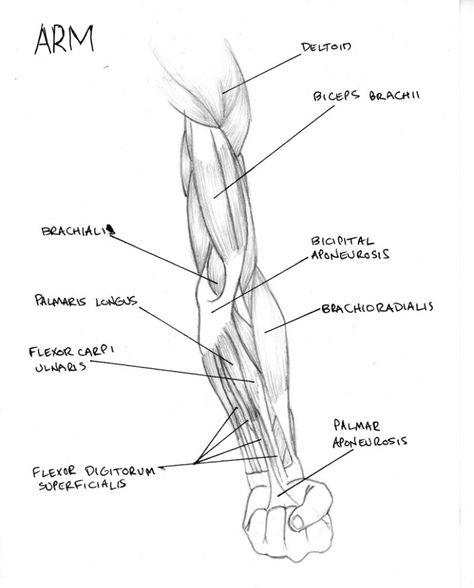 Arm Muscle Diagram Labeled Arm Muscle Diagram