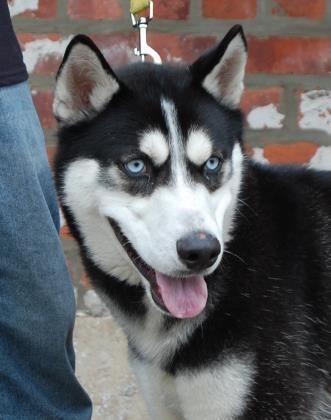 Adopt Saber On Husky Siberian Husky Mix Dogs