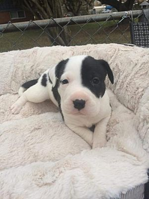 New York Ny American Pit Bull Terrier Meet Deena A Pet For