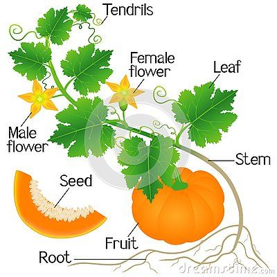 Pin By Breanna Siegel On Science Planting Pumpkins Leaf Flowers Parts Of A Pumpkin