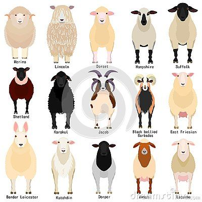 Various Sheep Breeds Chart Set Domestic Sheep With Their Breed Name Sheep Breeds Sheep Illustration Animal Science