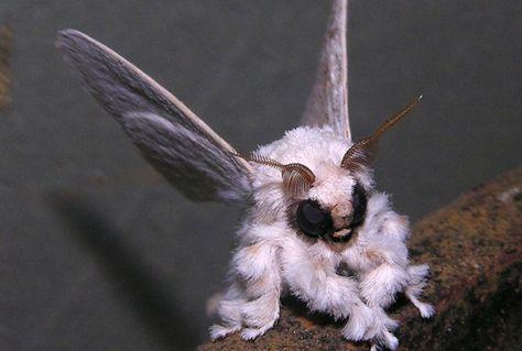 La polilla poodle #poodle-moth ó conocida como La adorablemente mostruosa  de Venezuela descubierta en la selva tropical, seguramente uno de los animales más extraños del mundo. Que tal?