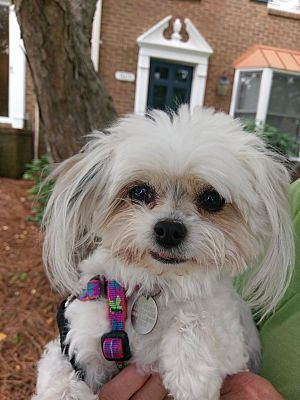 Greensboro Nc Maltese Meet Lucy A Dog For Adoption Teacup