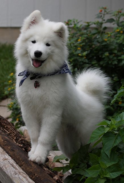 They look really fetch.   Undeniable Proof That Samoyeds Are Irresistible Dogs