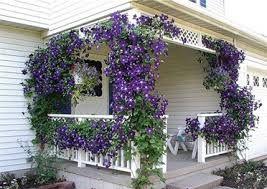 Znalezione Obrazy Dla Zapytania Kwiaty Na Balkon Pnace Clematis Garden Vines Plants