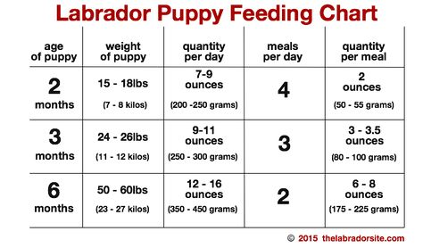 Feeding Your Labrador Puppy Desert Puppies Food