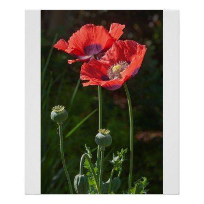 Opium poppy (Papaver somniferum) Poster | Zazzle.com