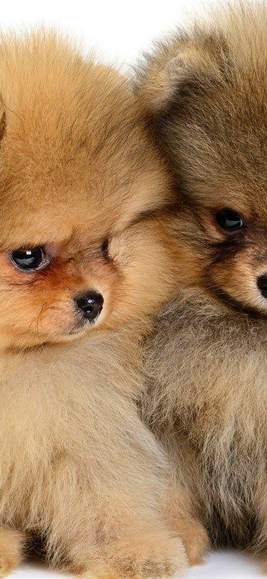 Pomeranian Welpen Kleine Susse Hunde Haustiere Flauschige Hunde Flauschige Hunde Hunde Haustiere