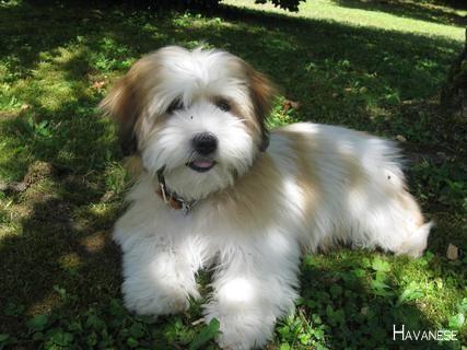 Havanese Dog Havanesepuppy Havaneseofiran Havanese Puppies Havanese Havanese Grooming