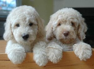 Picture Of A Labradoodle Vs Goldendoodle Labradoodle Vs