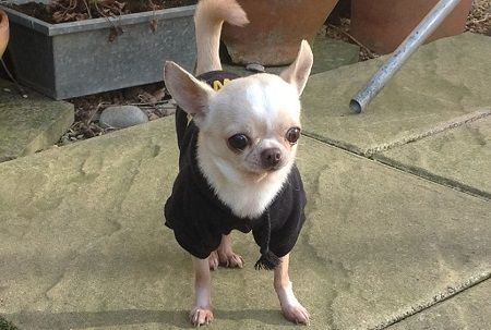 Gallery Dog Love Chihuahua Love Chihuahua