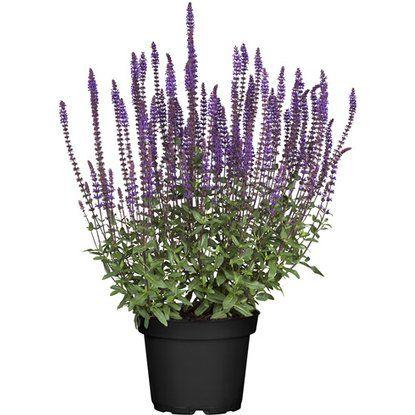 Winterhart Salbei Pflanzen
