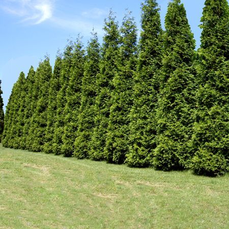 Thuja Green Giant Thuja Green Giant Fast Growing Trees Growing Tree