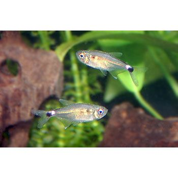 Head And Tail Light Tetra Fish Pet Freshwater Fish Save The Whales