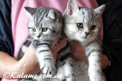 Kalame Com Au Silver Classic British Shorthair Male Female Kitten Britz Jack Frost Britz Ice Baby Cattery British Shorthair Kitten