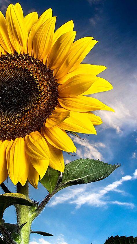Iphone Wallpaper Sunflower field bavaria low angle wallpaper Hd - Best Home Design Ideas