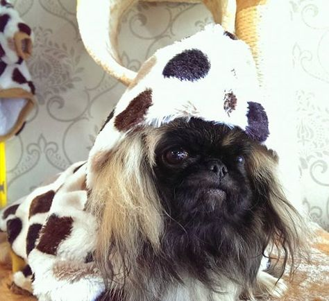 Our Cute Little Pekingese Puppy Wearing A Doggy Costume Do You