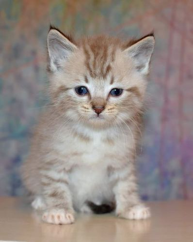 2 Bengal X Ragdoll Kittens Left Munchkin Cat Munchkin Kitten Kittens