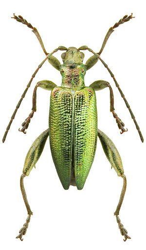 Donacia Reticulata Tier Fotos Insekten Und Tiere