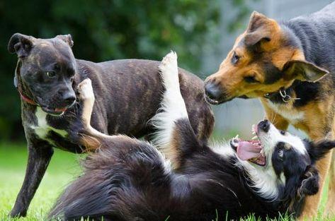 sarna a cachorros