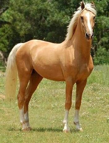 Napoleon - Palomino part Saddlebred Stallion - Pferd Cute Horses, Horse Love, Horse Photos, Horse Pictures, Most Beautiful Animals, Beautiful Horses, Beautiful Beach, Beautiful Creatures, Majestic Horse