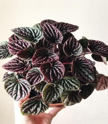 Peperomia Burgundy Ripple Plants in 2020 | Peperomia plant, Plants, Red  plants