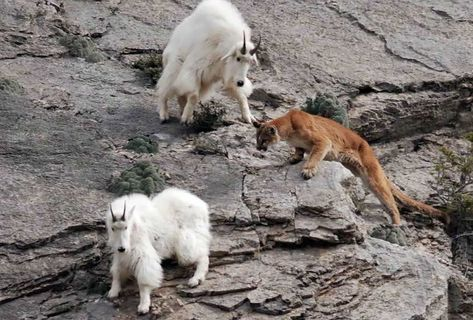 22crazy photos showing that mountain goats are ridiculously brave