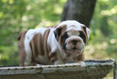 English Bulldog Puppies Sale Cheap Purebreds Daytona Beach
