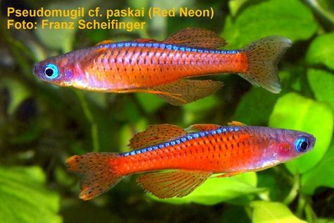 Red Rainbowfish Glossolepis Incisus Species Profile Red Rainbowfish Glossolepis Incisus Care Instruc Rainbow Fish Freshwater Aquarium Fish Aquarium Fish