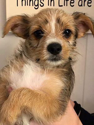 Encino Ca Silky Terrier Meet Jane A Dog For Adoption Silky