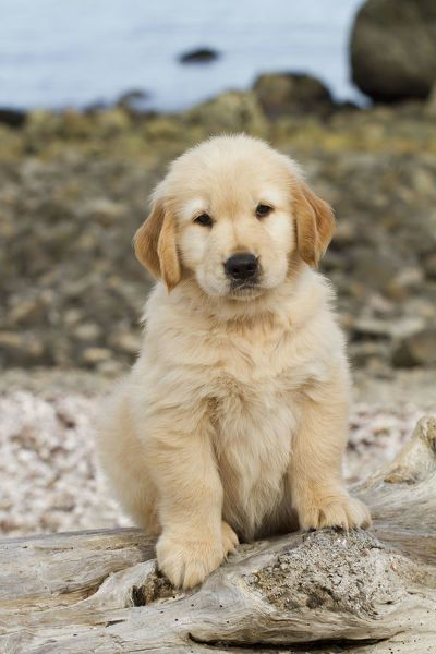 Jigsaw Puzzle Golden Retriever Puppy 7 Weeks Sitting On
