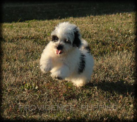 Zuchon Puppy For Sale In Wayland Ia Adn 37527 On Puppyfinder Com