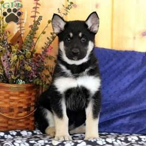 Dorcas German Shepherd Mix Puppy For Sale In Pennsylvania