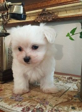 Maltese Puppy For Sale In Fullerton Ca Adn 69593 On Puppyfinder